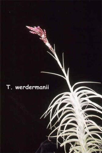 Tillandsia werdermannii