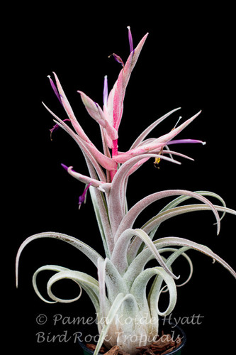 Tillandsia Bird Rock Symmetry - (T. streptophylla X mitlaensis)