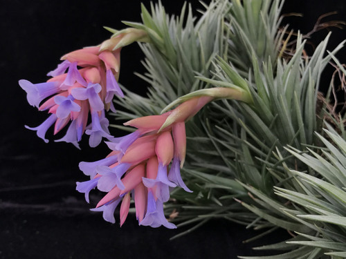 Tillandsia Blue Bells - (T. neglecta x araujei)
