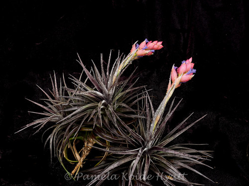 Tillandsia Dark Star