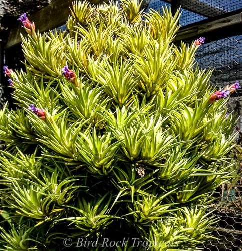 Tillandsia neglecta (green form)
