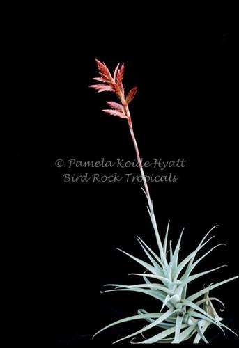 Tillandsia latifolia v. divaricata (Peru)