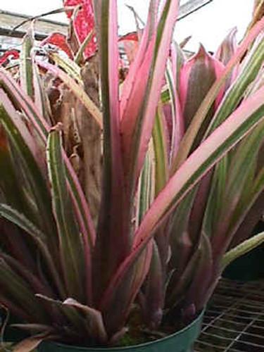 Billbergia 'Santa Barbara'
