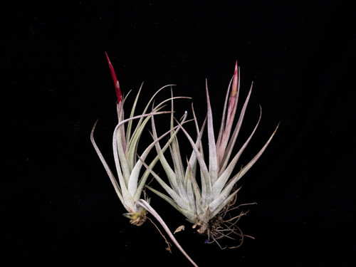 Tillandsia circinatoides X pueblensis