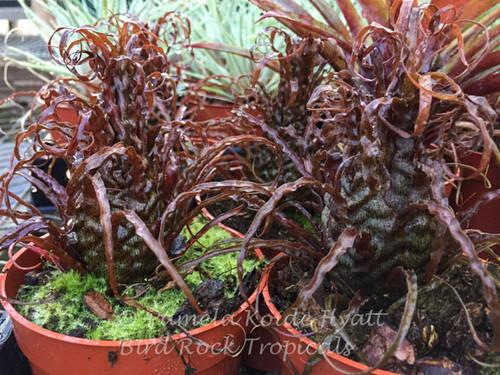 Racinaea crispa (red clone)