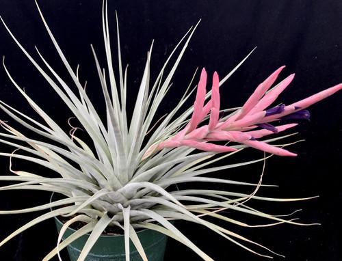 Tillandsia/ Vriesea species