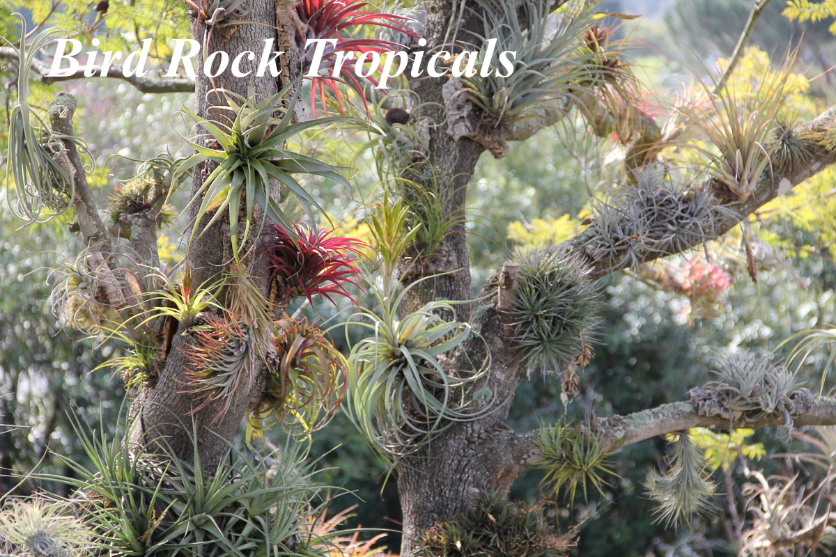 Bird Rock Tropicals Tillansia Grower
