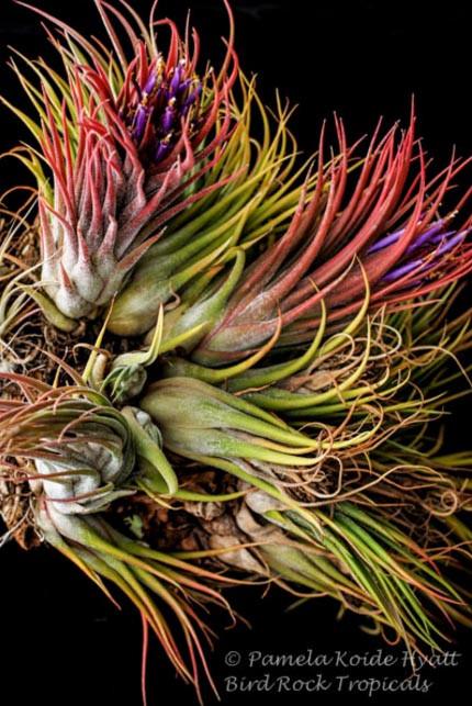 Tillandsia john 39 s clone t ionantha x seleriana arden Tillandsia hybrids