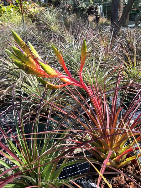 Tillandsia ervin wurthman t fasciculata x tricolor Tillandsia hybrids