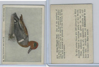 V67 Neilson's Chocolate, Wild Animals, 1930's, #A3 Green Winged Teal