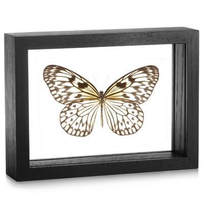 Framed Idea leuconoe Butterfly | Evolution Store