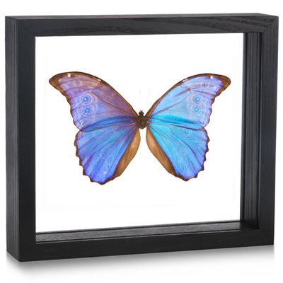 Framed Morpho didius Butterfly | Evolution Store
