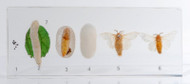 Lifecycle of Silkworm Moth