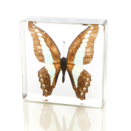 Butterfly in Resin - Common Bluebottle