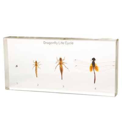 Dragonfly Lifecycle in Resin  The Evolution Store