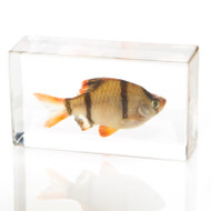 Tiger Barb Fish in Resin