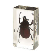 Siamese Fighting Rhinoceros Beetle in Resin