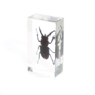 Mountain Stag Beetle in Resin
