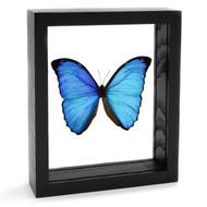The Overlook Morpho Butterfly - Morpho menelaus - Black Finish