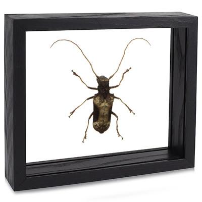 Giant African Longhorn Beetle - Petrognathus gigas