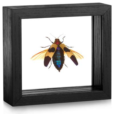 Chrysochroa buqueti rugicollis - Wings Spread