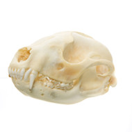 Raccoon Skull