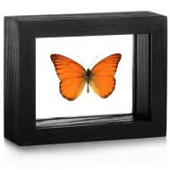 Orange Albatross Butterfly - Appias nero