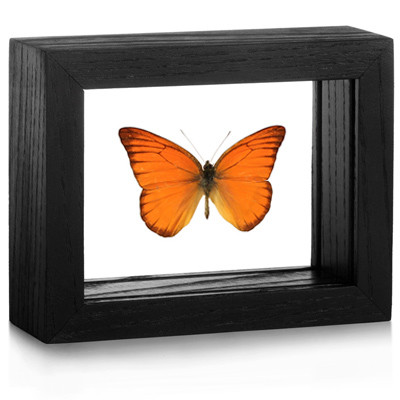 Framed Appias nero Butterfly | Evolution Store