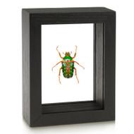 Mistletoe beetle - Stephanorrhina guttata