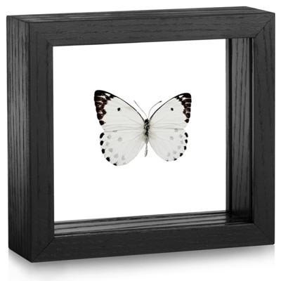 Framed Belenois calypso Butterfly | Evolution Store