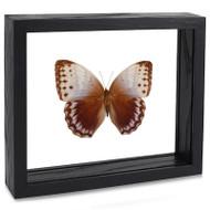 Northern Jungle Queen Butterfly - Stichophthalma camadeva
