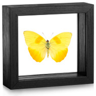 Orange-Barred Sulfur Butterfly - Phoebis philea