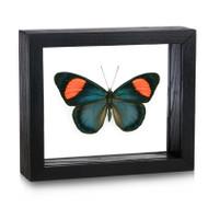 Neapolitan Butterfly - Batesia hypochlora (Topside)