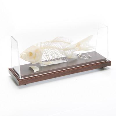 Fish Skeleton The Evolution Store