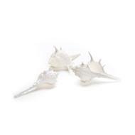 Caltrop Murex - Seashell