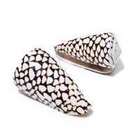 Marble Cone - Seashell