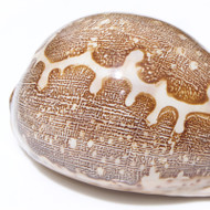 Map Cowrie - Seashell