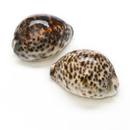 Tiger Cowrie - Seashell