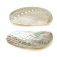 Donkey's Ear Abalone - Seashell