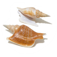 Lister's Conch - Seashell