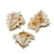 Maple Leaf - Seashell