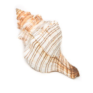 Fox Shell - Seashell
