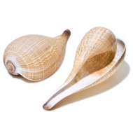 Fig Shell - Seashell