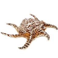 Chiragra Spider - Seashell