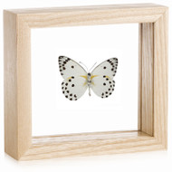 Caper White Butterfly - Belenois calypso (Underside)