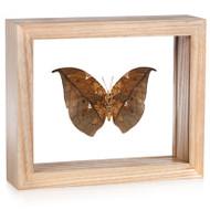 Leafwing Butterfly - Anaea archidona - Underside