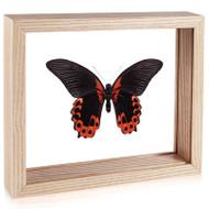 The Scarlet Mormon Butterfly - Papilio rumanzovia - Underside