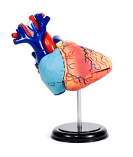 Anatomical Snap-Together Kit, Heart, Original