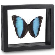 Banded Morpho Butterfly - Morpho deidamia