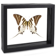 Giant Swordtail Butterfly - Graphium androcles